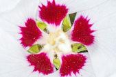 Chinese hibiscus, Hibiscus rosa-sinensis — Stock Photo