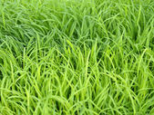 Macro rice seedlings. — 图库照片
