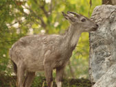 Chamois endangered species. — Stock Photo
