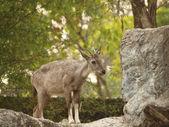 Chamois endangered species. — Stock Photo