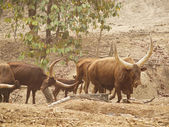 The African Ankole Cow, also know as Watusi. — Stock Photo