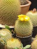 Kaktus i barnkammaren. — Stockfoto