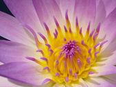 Färgstarka lotus. — Stockfoto