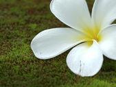 Frangipani flowers on moss. — Stock Photo