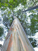 Very large eucalyptus — Stockfoto