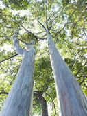 Very large eucalyptus — 图库照片