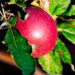 Ripening red apples on tree — Stock Photo #31271349