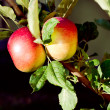 Ripening red apples on tree — Stock Photo #31271407