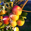 Ripening red apples on tree — Stock Photo #31271411