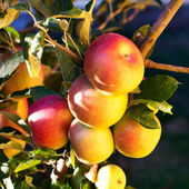 Ripening red apples on a tree — Foto Stock