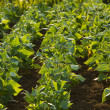 Field of green beans — Stock Photo #29848099