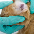 Veterinarian looking ear of a cat,close up — Stock Photo