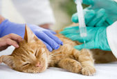 Little cat on the table veterrinary giving vaccine — Stock Photo