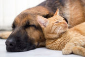 Cat and dog sleeping together — Stock Photo