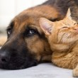 German Shepherd Dog and cat together — Foto Stock