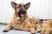 German Shepherd Dog and cat together cat and dog together lying — Stock Photo