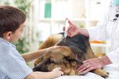 Veterinary surgeon is giving the vaccine to the German Shepherd — Stock Photo