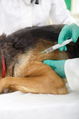 Veterinary surgeon is giving the vaccine to the dog German Sheph — Стоковое фото