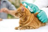 Enjeksiyon için küçük bir kedi giving veteriner — Stok fotoğraf