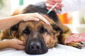 Veterinary surgeon is giving the vaccine to the dog German Sheph — Stock Photo