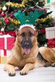 Great German shepherd in Christmas night — Stock Photo