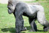 Silver backed Male Gorilla  — Stock Photo