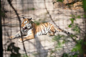 Angry tiger at the zoo — Stock Photo