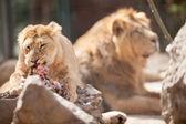 動物園で 2 頭のライオン — ストック写真