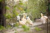 Beautiful water bird Pink-backed Pelican — Stock Photo