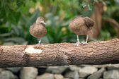 Pair ducks togetherness  — Stock Photo