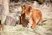 Young cow lying and resting  — Stock Photo