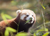 Beautiful red panda in natural habitat — Stock fotografie