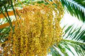 Green kimri dates clusters  — Stock Photo