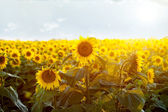 beauty sunset over sunflowers field  — Stock Photo
