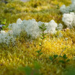 Reindeer moss — Stock Photo #19480241
