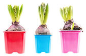 Set hyacinths — Stock Photo