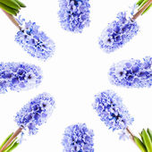 Set blue hyacinth on white background — Stock Photo