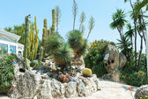 Garden cacti and succulents in Monaco — Stock Photo