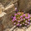 Alpine flowers on a stone background — Stock Photo