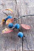 Sloe berry — Stock Photo