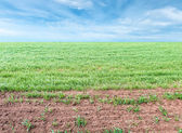Background of wheat field and blue sky — Stock Photo