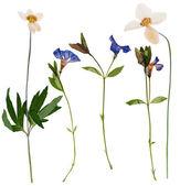 Set of wild flowers pressed — Stock Photo