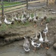 Foto Stock: Domestic geese