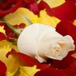 White rose — Stock Photo #15167977