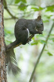 Squirrel eats nuts — Stock Photo