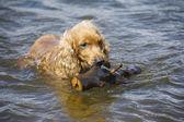 Dog carries a stick — Foto de Stock