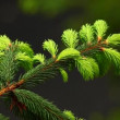 Stock Video: Fir tree branch