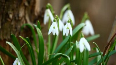 Snowdrop flowers in spring — Stock Video