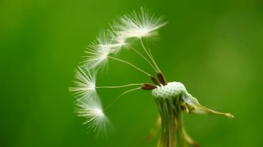 Macro of several remaining dandelion seeds moving in waft
