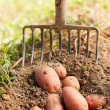 Постер, плакат: Red potatoes and digging fork